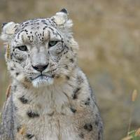 World Snow Leopard Day