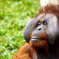 Orangutan Awareness Week