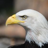 National Bald Eagle Appreciation  Day