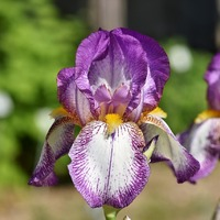 National Iris Day