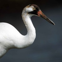 National Whooping Crane Day