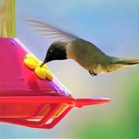 National Hummingbird Day