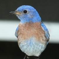 Nationa Bluebird of Happiness Day